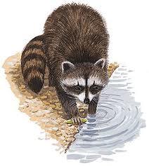 File:Raccoon.jpeg
