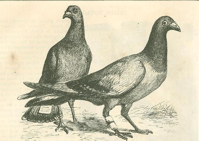 File:Method of attaching messages to carrier pigeons.jpg