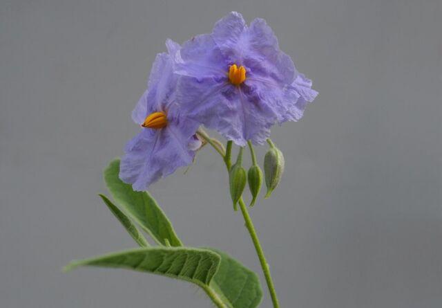 File:Solanum Watneyi 1.jpg