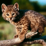 File:ShadowBobcat.png
