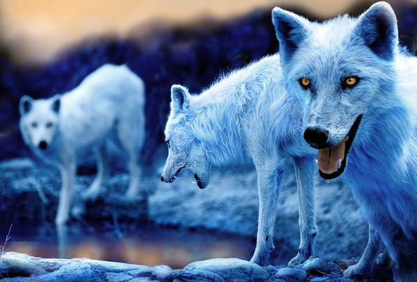File:229875 blue-wolf-pack.jpg