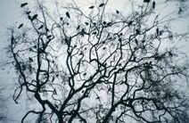 A Murder of Crows at Disneyland