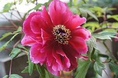 File:Peony Flower.jpg
