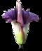 C290 Travel Indonesia i04 Amorphophallus