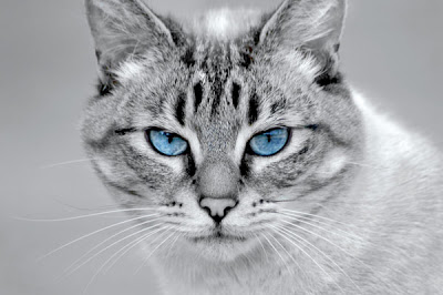 File:Cat blue eyes.jpg