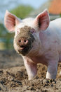 Royalty-free-stock-images-happy-pig-portrait-image19243449