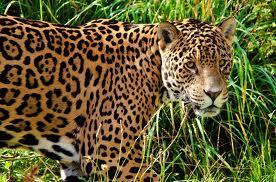 File:Jaguar6.png