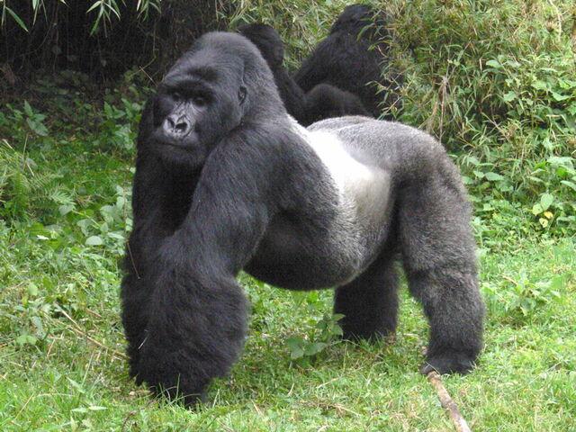File:Mountain silverback gorillas (1).jpg