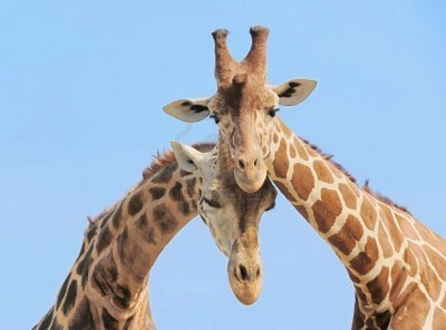 File:Tumblr static 3671921-giraffe-couple-in-love-with-blue-sky-on-background.jpg