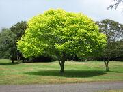 Bright green tree - Waikato