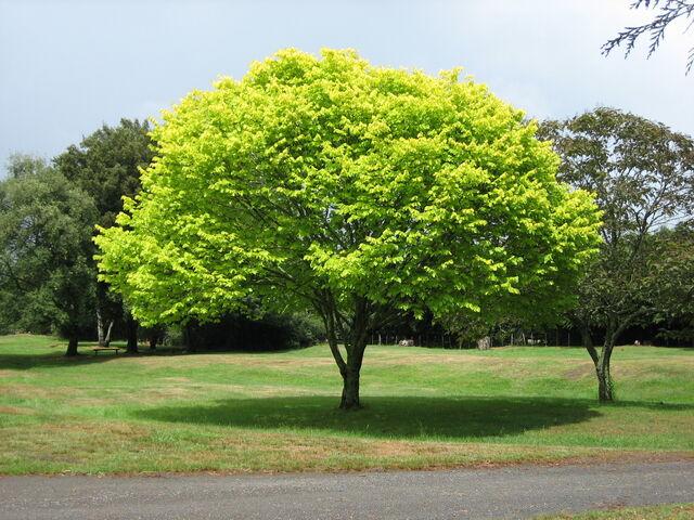 File:Bright green tree - Waikato.jpg