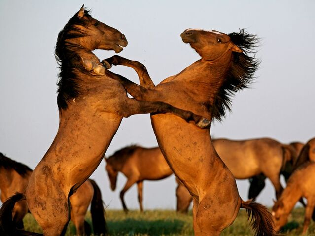File:Stallions-fighting-farlow 3735 990x742.jpg
