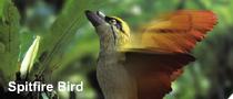 Spitfire bird1