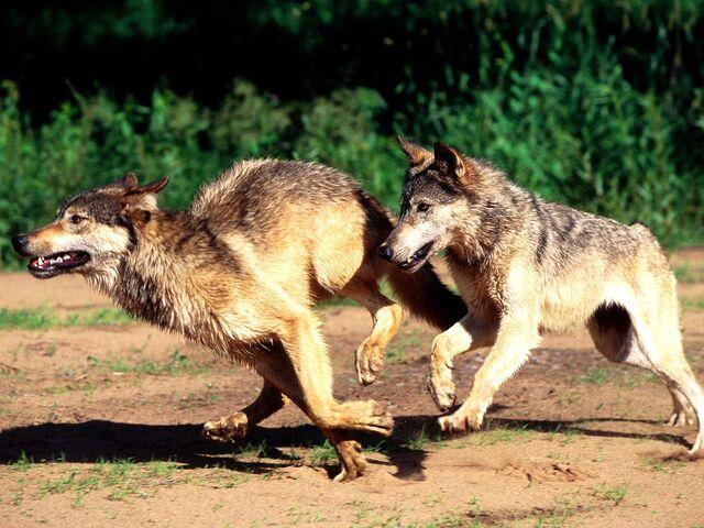 File:Wolves-running.jpg