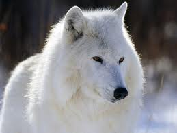 File:Wolf mutt.jpg