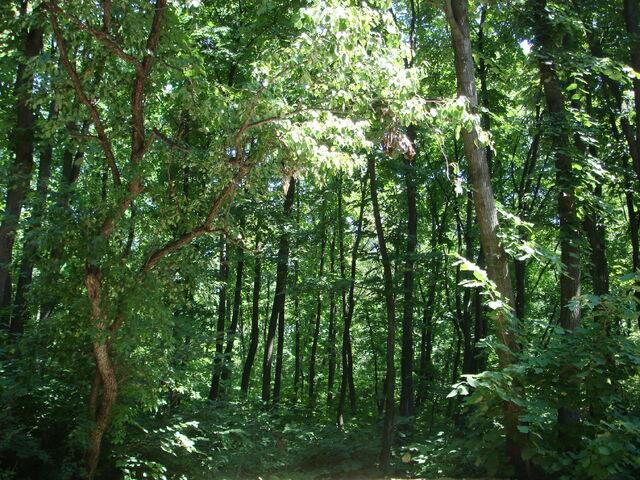 File:Forest ialoveni.jpg
