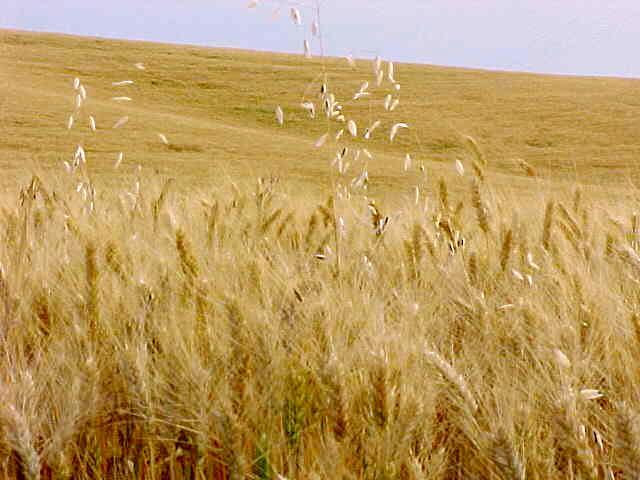 File:Wheat-field.jpg