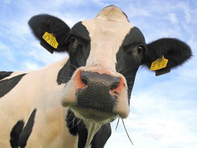 File:Cow face.jpg