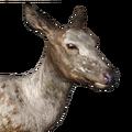 Roosevelt elk female piebald
