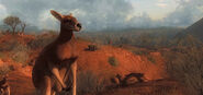 Kangaroo 04