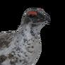 Rock ptarmigan male common
