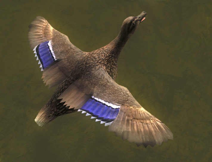 Duck gallery mallard female