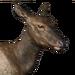 Roosevelt elk female common