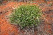 Buffel grass