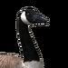 Canada goose male common