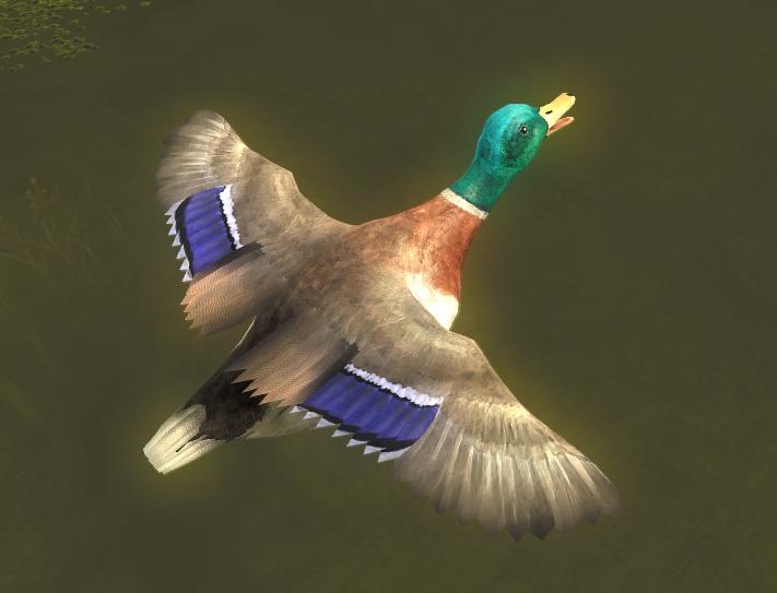Duck gallery mallard male