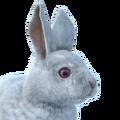 Snowshoe hare male albino