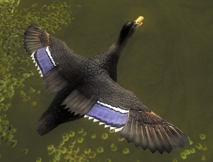 Duck gallery american male