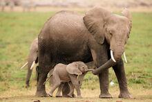 Mother-elephant-baby-elephant-calf