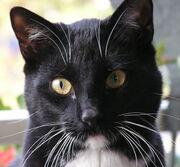 Black-tuxedo-cat