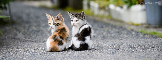 File:Cute-cats-staring-facebook-cover.jpg