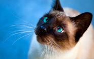 Siaminse Kitty cat