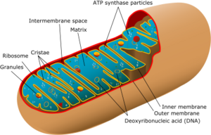 400px-Animal mitochondrion diagram en (edit) svg