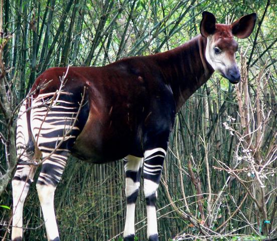 File:Okapi.png