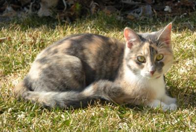 File:Dilute-calico-cat-21348469.jpg