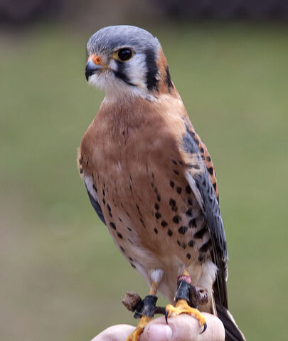 File:Kestrel.jpg