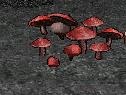 File:Devils Death Dance Mushroom.png