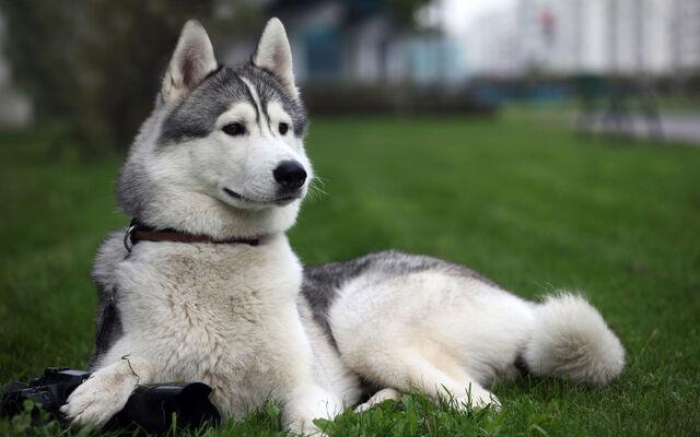File:Siberian-huskies-with-blue-eyes-pictures.jpg
