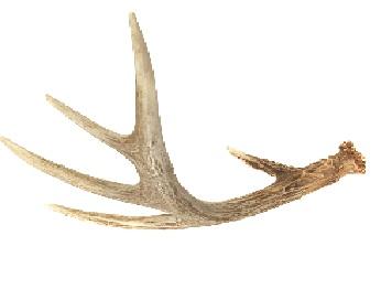 File:Leland's Deer antler.JPG