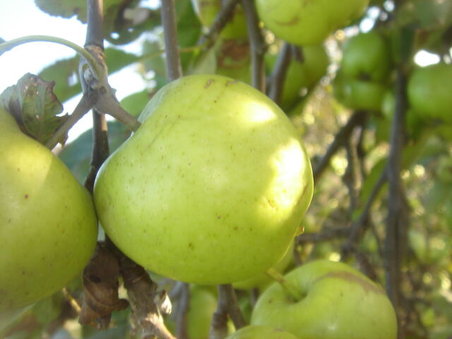 File:Crab Apple close up.JPG