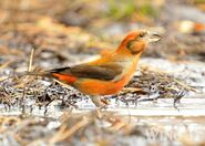 Common Crossbill S.Allen