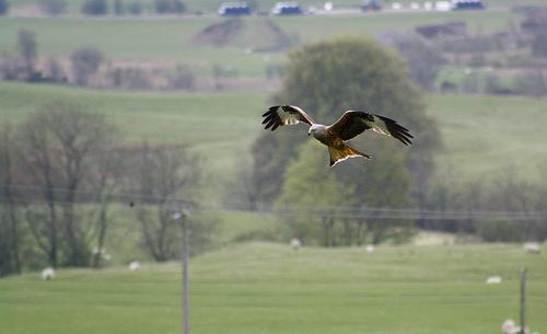 File:Red Kite.jpg
