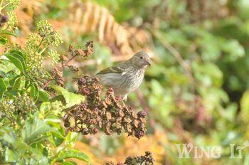 Common Rosefinch (S.Allen)