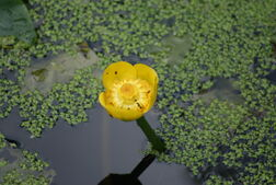 Yelwaterlily