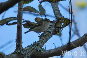 Yellow-browed Warbler (S.Allen)