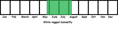 White-legged Damselfly TL